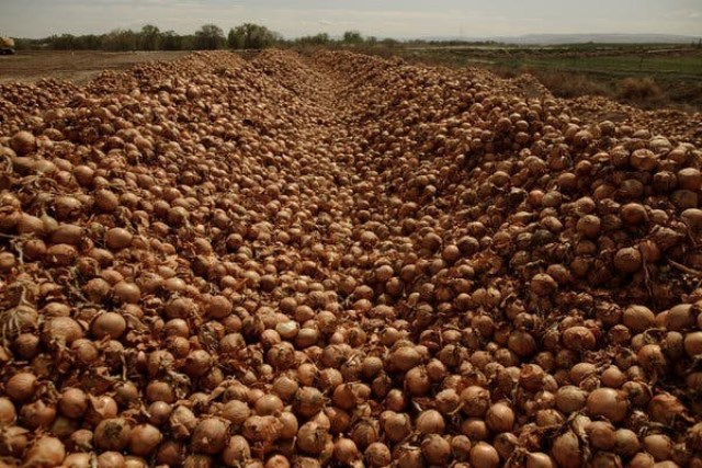 A field of onions waiting to be buried, in Idaho